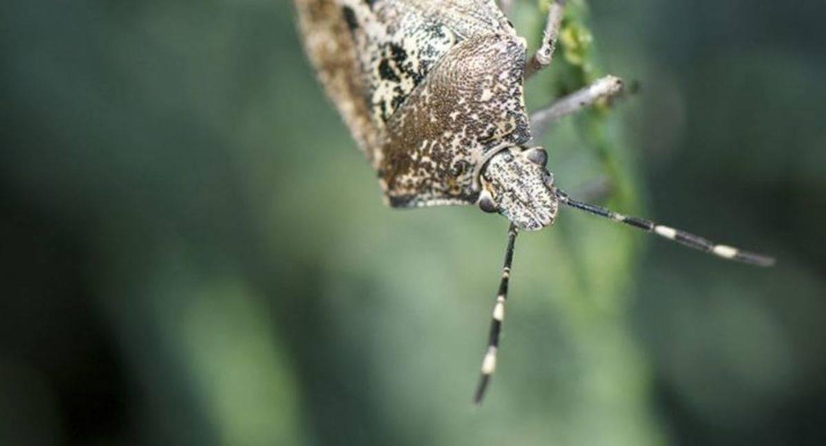 Мраморный или коричнево-мраморный клоп— опасный вредитель и борьба с ним