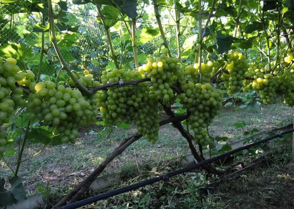 Как уберечь виноград от ос – советы бывалых виноградарей