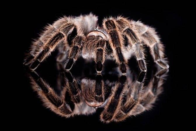 К чему снится тарантул девушке сонник
