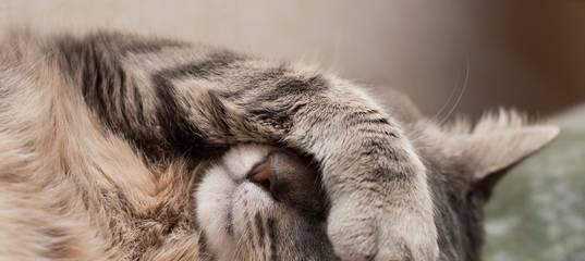 Подкожные клещи у кошки (демодекоз). причины, симптомы и лечение