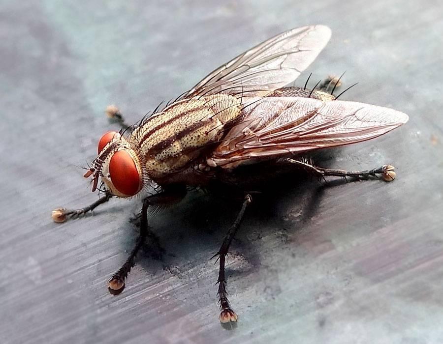 Как избавиться от мух дома, в квартире, на грядке?