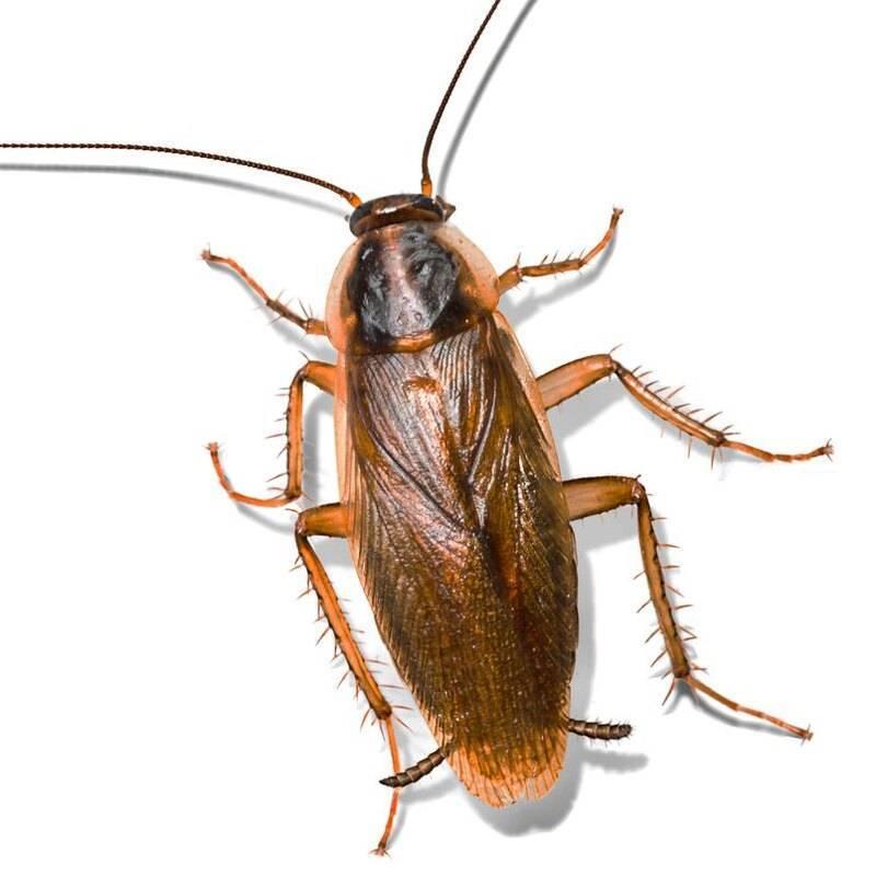 Размножение домашних тараканов — условия размножения тараканов