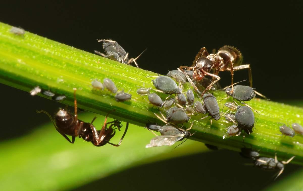 Симбиоз муравьев и тлей: как разбить счастливый союз, чтобы защитить растения?