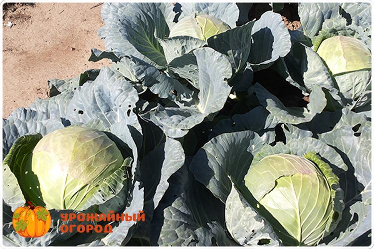 Народные средства для обработки капусты от гусениц