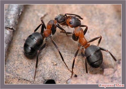 Как спасти капусту от муравьев
