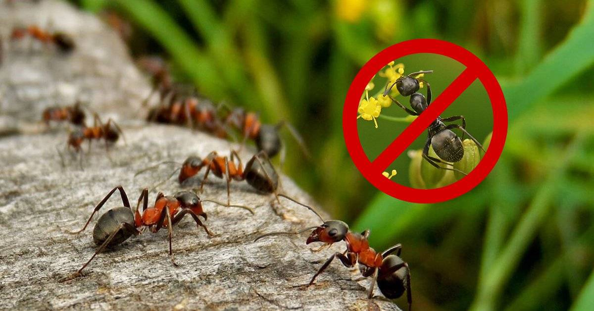 Использование дрожжей против муравьев