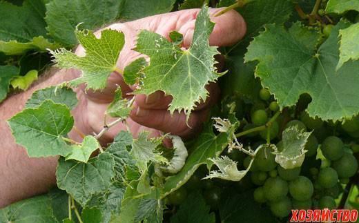 Как бороться с тлей на винограде химическими препаратами и народными средствами