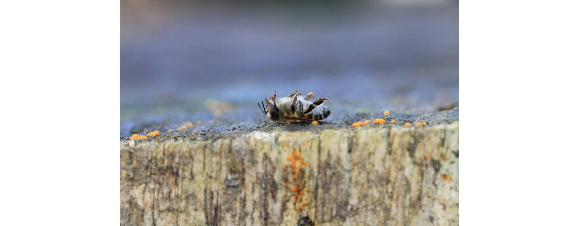 Как бороться с варроатозом пчел