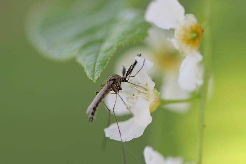 Чем питается комар? обзор предпочтений насекомого в зависимости от пола и стадии развития. личинка комара: среда обитания, особенности развития личинка комара название