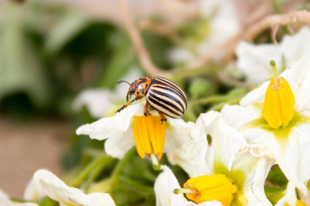 Инструкция по применению препарата «корадо» от колорадского жука