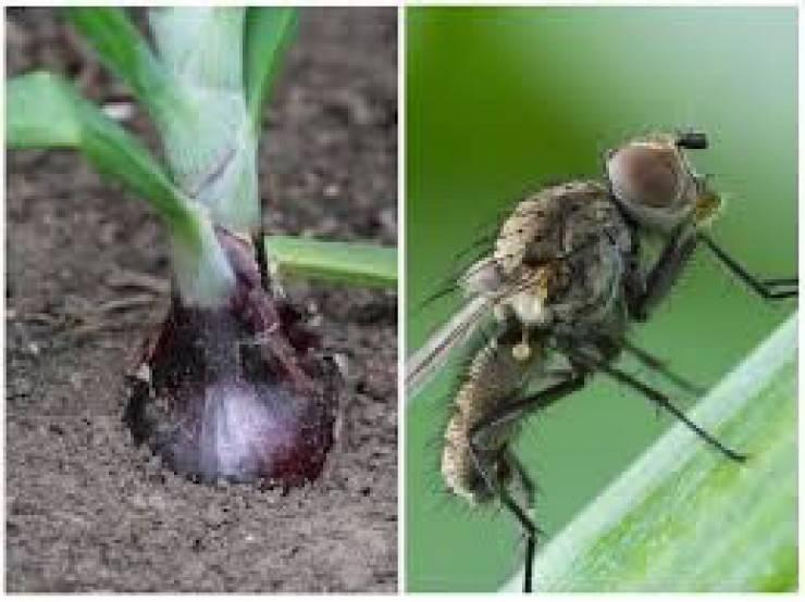 Что будет, если съесть яйца или личинки мухи. опасные мухи. человеческая плоть для личинок - лучший деликатес что будет, если съесть яйца