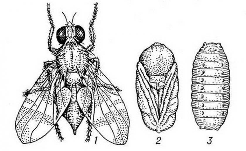 Как обнаружить и обезвредить вишневую муху