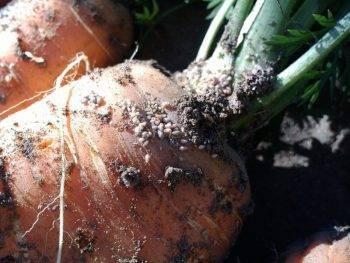 Как бороться с тлей на моркови  и чем можно обработать, основные методы борьбы