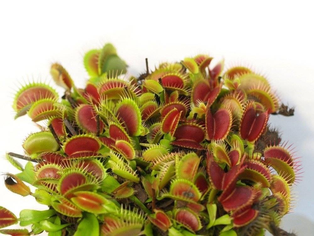 Венерина мухоловка в домашних условиях - уход, фото, размножение