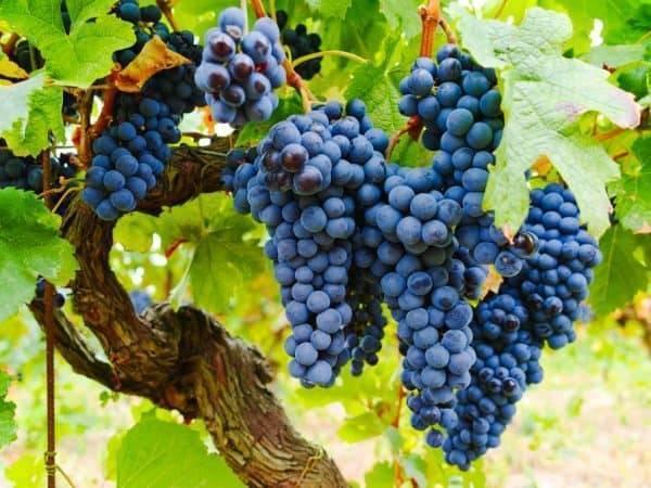 Филлоксера — виноградная, листовая, меры борьбы и чем лечить