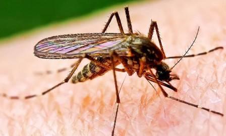 Почему комары пьют кровь?