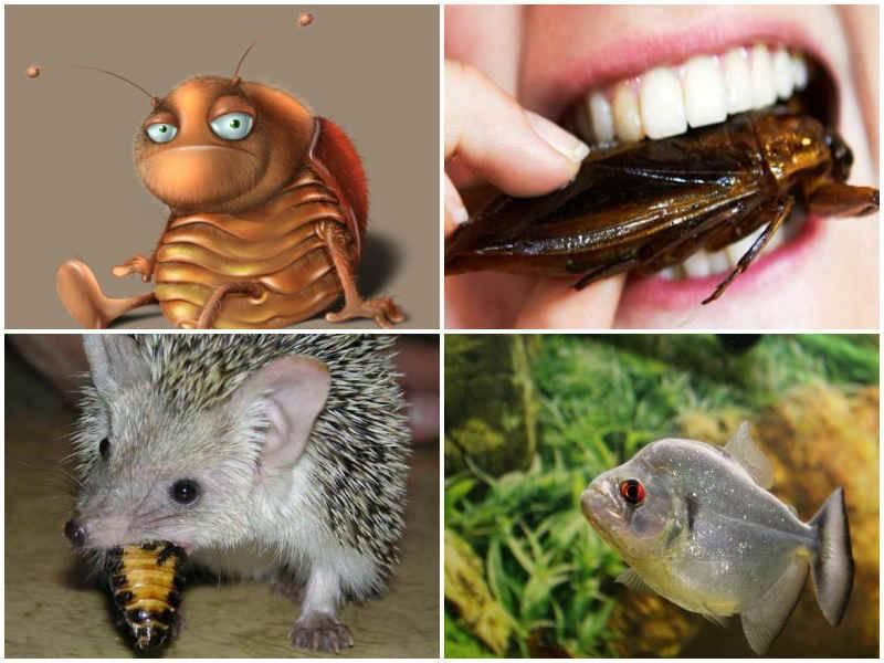 Жуки, которых можно спутать с тараканами