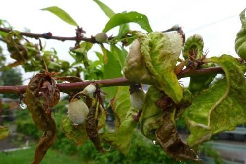 Обработка персика весной от болезней и вредителей: когда и чем опрыскивать