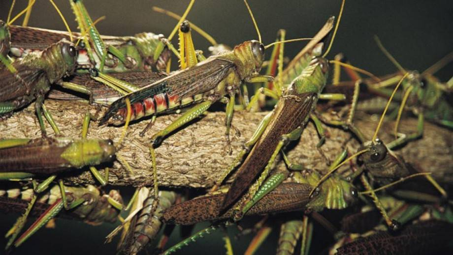 Марокканская саранча – массовый вредитель