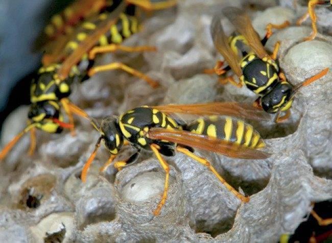 Оса палач: описание и опасность укуса насекомого