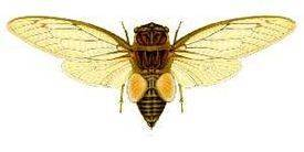 Цикада насекомое звук. насекомое цикада: поющий вредитель огородов и полей. на фото певчая цикада