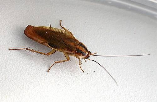 Кусаются ли домашние тараканы и как выглядят их укусы