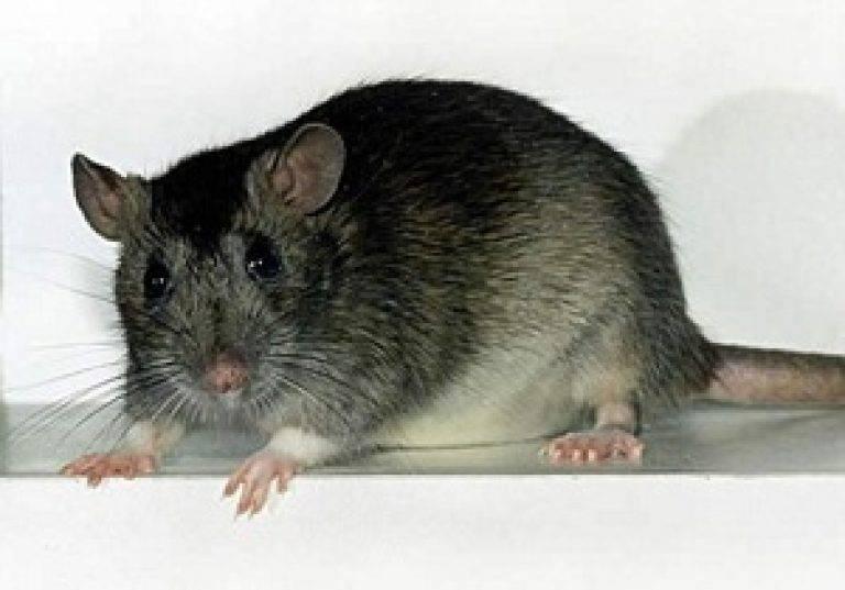 Какой запах отпугивает крыс