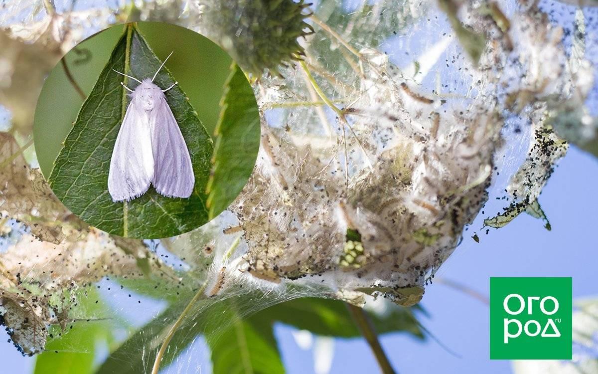 Чем травить гусениц американской бабочки. как бороться с американской белой бабочкой? размножение американских белых бабочек