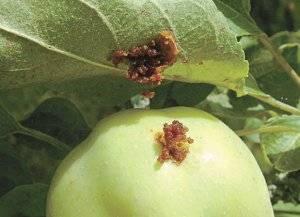 Как избавиться от плодожорки на яблоне: методы борьбы