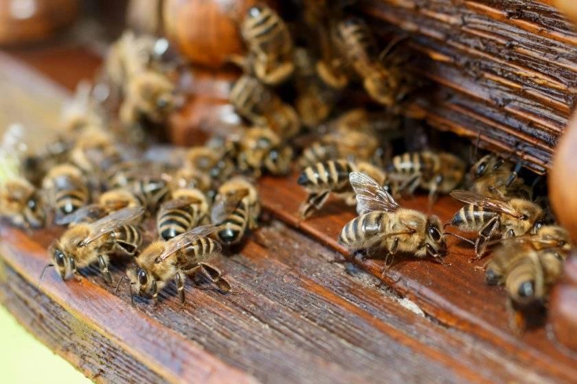 Виды и породы пчел: бакфаст, среднерусская, карпатская и другие. их характеристика