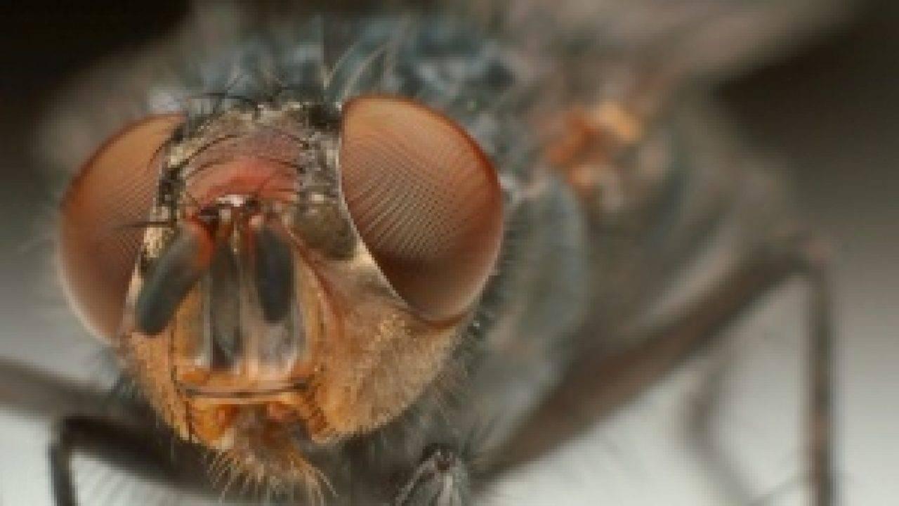 Как бороться с малиновой мухой