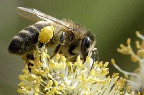 Породы пчел и их особенности
