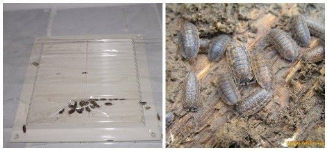 Мокрицы в квартире: как избавиться от этого насекомого?