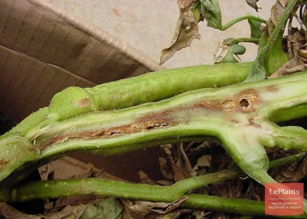 Рассада томатов на подоконнике. чем поражается и как бороться с вредителями?