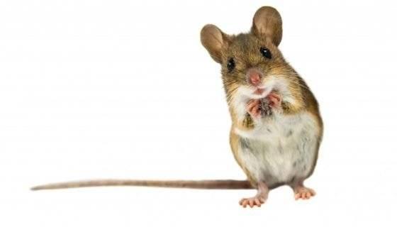 Мышь в машине как избавиться от грызунов