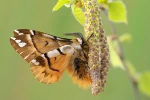 Тутовый шелкопряд интересные факты. тутовый шелкопряд насекомое. образ жизни и среда обитания тутового шелкопряда. кокон и окукливание