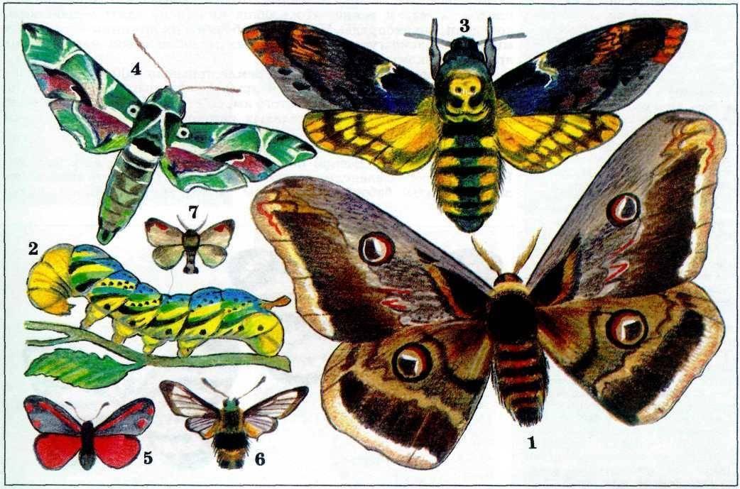 Бабочка адмирал описание доклад сообщение детям