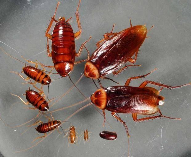 Чем опасны тараканы для человека: какие болезни они переносят?