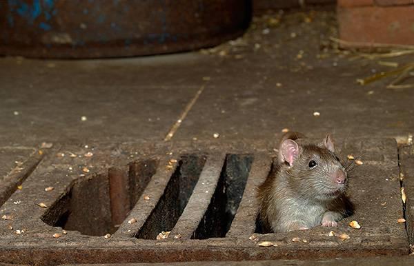 Смерть человека от крысиного яда