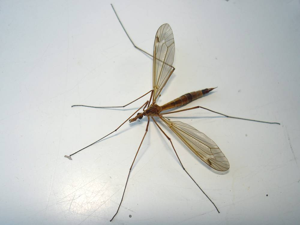 Малярийные комары: кто это такие и чем они опасны для человека