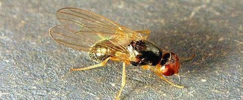 Как бороться с морковной мухой: описание и признаки ее появления