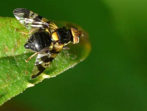 Как бороться с вишневой мухой