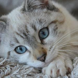 Блохи у кошек и методы избавления от них