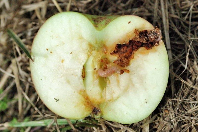 Как избавиться от яблоневой плодожорки