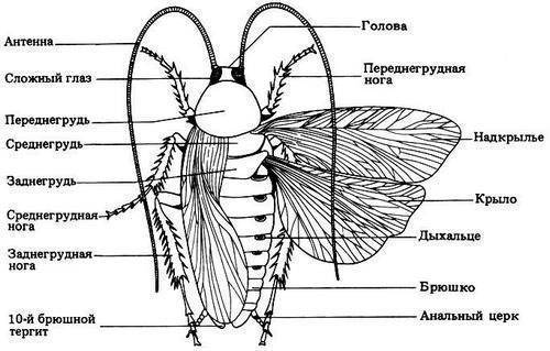 Описание и особенности строения тараканов, их разновидности, питание, размножение и опасность для человека