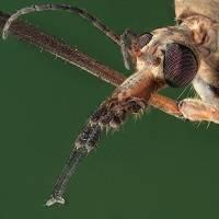 Описание и фото комара под микроскопом
