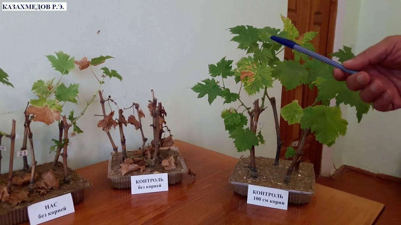Как избавиться от филлоксеры на винограде