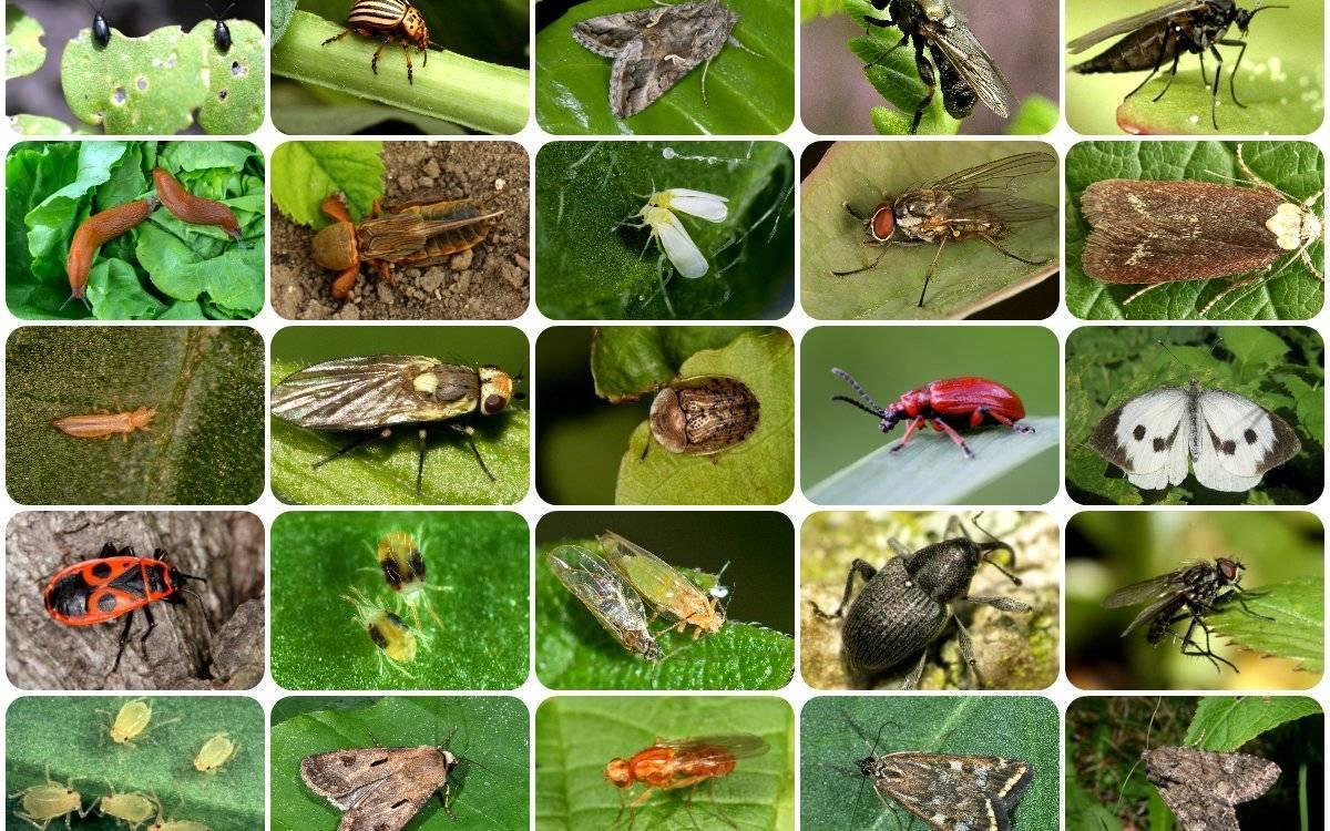 Проволочник в огороде: фото и описание, как бороться с жуком
