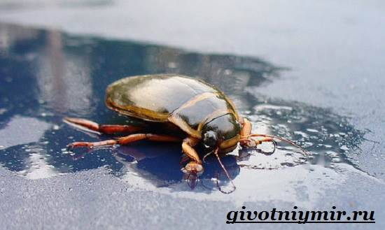 Плавунец широчайший— самый крупный и редкий жук в водоемах россии