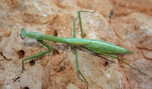 Богомол обыкновенный – живая ловушка для насекомых. богомол.что мы о нём знаем богомол в средней полосе